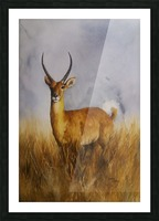 Waterbuck Picture Frame print
