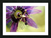Purple Passion Flower Picture Frame print