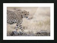 Cheetah Bro Picture Frame print