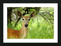 White   Tailed Deer Close Up Picture Frame print