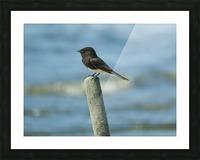 Black  Phoebe Picture Frame print
