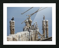 Brown Pelicans Picture Frame print