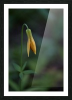 Wild tiger lily Picture Frame print