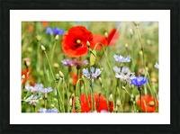 alpine cornflower, cornflowers, flowers, centaurea montana, field of flowers, poppy, composites, flora, wild plant, plant, flower garden, wild flower, garden, flower meadow, petal, meadow, nature, Picture Frame print