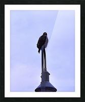 12.5.18 Hawk Picture Frame print