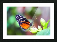 Monarch on a Bud Picture Frame print