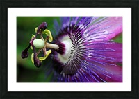 Passion Flower In Purple Picture Frame print