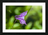 Purple Columbine 2 Picture Frame print