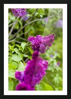 Purple Lilac Blossoms 2 Picture Frame print