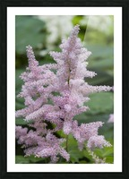 Pink Astilbe 1 Picture Frame print