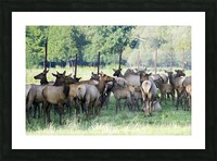 Elk Red Tailed Deer or Wapiti 16 Picture Frame print