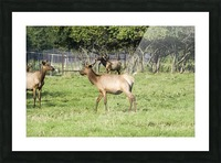 Elk Red Tailed Deer or Wapiti 4 Picture Frame print