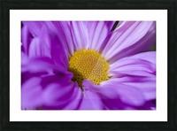 Chrysanthemum Picture Frame print