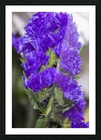 Purple Statice Flower Picture Frame print