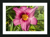 Purple Stella Doro Day Lily Flowers 2 Picture Frame print
