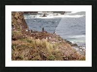 Puffins being puffins 15 Picture Frame print