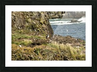 Puffins being puffins 9 Picture Frame print