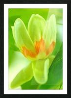 Tulip Poplar Flower Picture Frame print