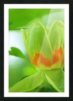 Yellow Poplar Flower Picture Frame print