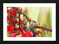 Hummingbird Giving Thanks Picture Frame print