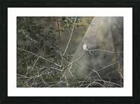 Resting Mockingbird Picture Frame print