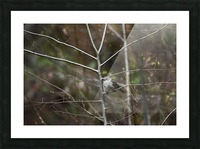 Yellow-rumped Warbler 2 Picture Frame print