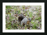 Squirrel 2 Picture Frame print