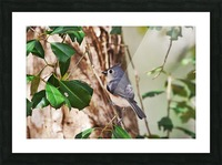 Tufted Titmouse Picture Frame print