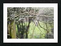 Eastern Phoebe Picture Frame print
