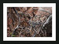 Yellow-rumped warbler Picture Frame print