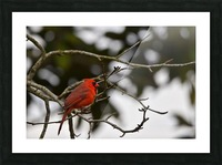 Cardinals 4 Picture Frame print
