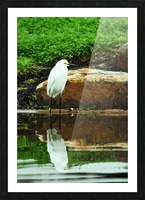 Snowy Egret Picture Frame print