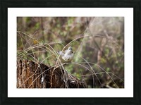 Angry Mockingbird 3 Picture Frame print
