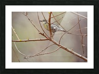Yellow-rumped Warbler 3 Picture Frame print