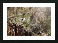 Angry Mockingbird 2 Picture Frame print