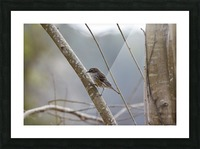 Yellow-rumped Warbler 4 Picture Frame print