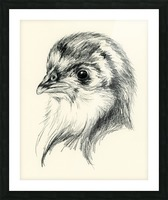Black Australorp Chick in Charcoal Picture Frame print