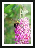 Bumblebee on a Flower Picture Frame print