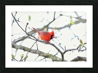 attack Cardinal Picture Frame print