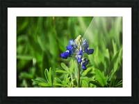 Texas Blue Bonnets Picture Frame print