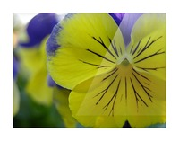 Yellow Pansy Photograph Picture Frame print