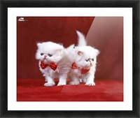 White Persian Kittens with bow ties Picture Frame print