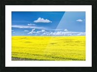 Canola Field  Picture Frame print