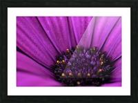 Purple Osteospermum Daisy Photograph Macro Picture Frame print