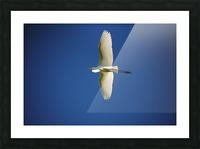 Egret Sailing Above Picture Frame print