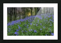 Sunset at Bluebell Wood in Margam Picture Frame print