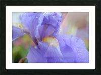 Purple Iris Photograph Picture Frame print