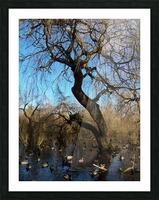 Bow Park duck pond Picture Frame print
