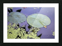 Lily Pads and Duckweed Dow Gardens 2018 Picture Frame print