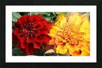 Red and Yellow Marigolds 062718 Picture Frame print